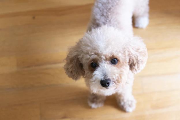 犬の性格に特徴はあるの?トイプードルは毛色で性格が違うって本当?